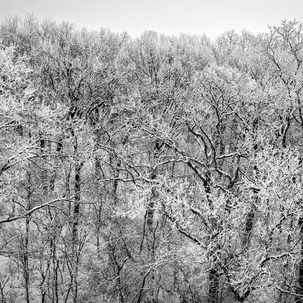 Winter Tree Tops