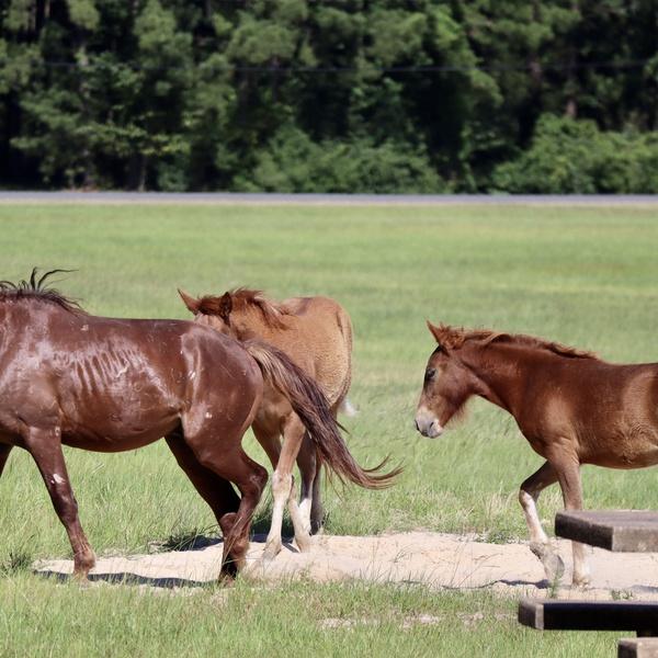 Horses of Ft Polk